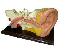 Cấu tạo tai người